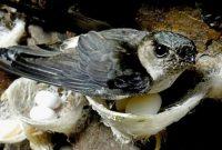 bisnis sarang burung walet